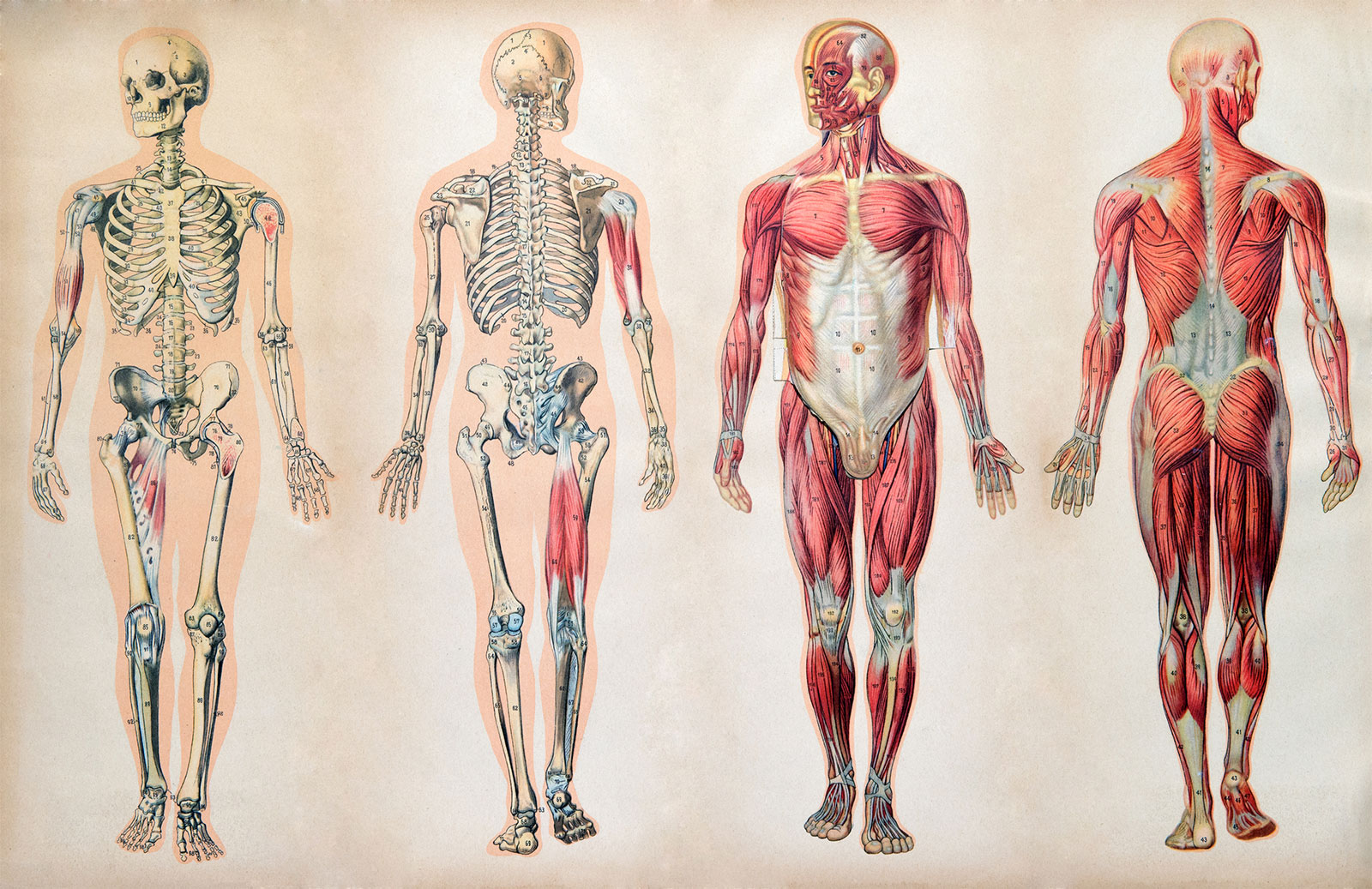 Tipos de cuerpos. Las diferentes constituciones.